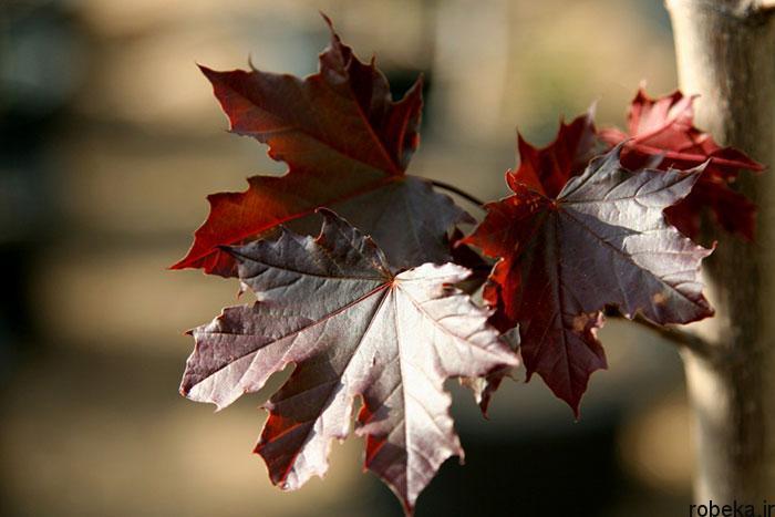 برگ درخت افرا سلطنتی قرمز عکس های زیبا از برگ و درخت افرا قرمز و سیاه