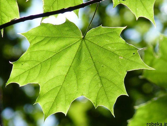 برگ سبز درخت افرا عکس های زیبا از برگ و درخت افرا قرمز و سیاه