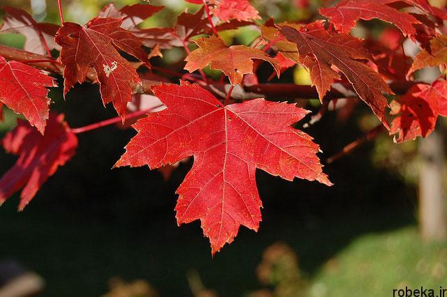 عکس برگ درخت افرا سرخ عکس های زیبا از برگ و درخت افرا قرمز و سیاه
