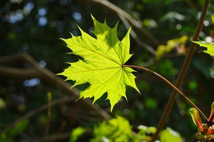 عکس برگ درخت افرا نروژی عکس های زیبا از برگ و درخت افرا قرمز و سیاه