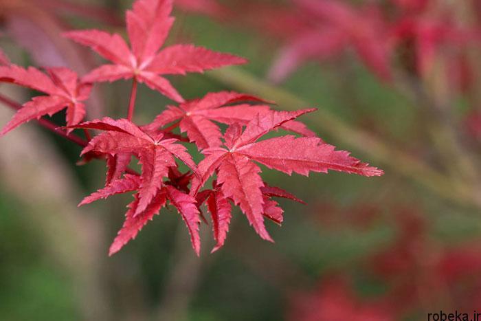 عکس برگ درخت افرا ژاپنی عکس های زیبا از برگ و درخت افرا قرمز و سیاه