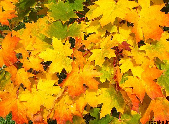عکس برگ پاییزی درختان افرا عکس های زیبا از برگ و درخت افرا قرمز و سیاه