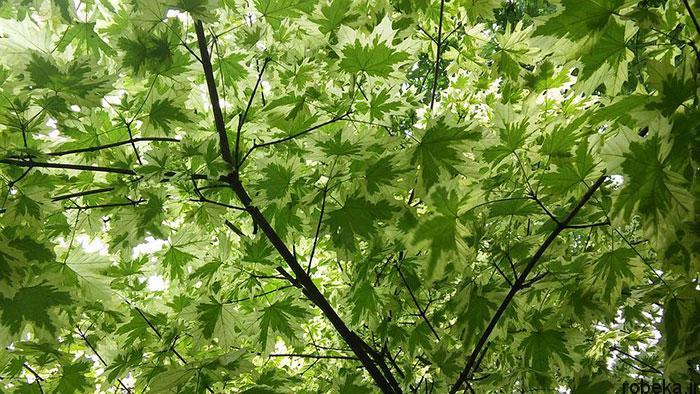 عکس درخت افرا ابلق عکس های زیبا از برگ و درخت افرا قرمز و سیاه
