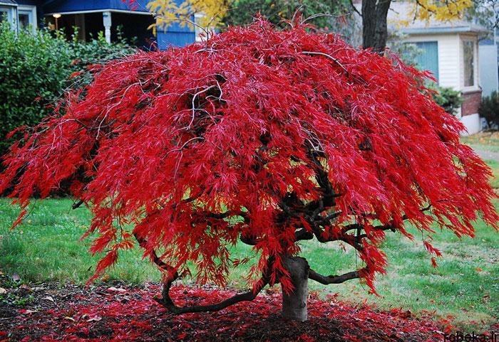 عکس درخت افرا مینیاتوری عکس های زیبا از برگ و درخت افرا قرمز و سیاه