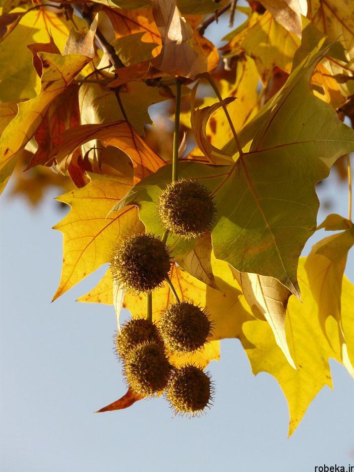 عکس میوه درخت افرا عکس های زیبا از برگ و درخت افرا قرمز و سیاه