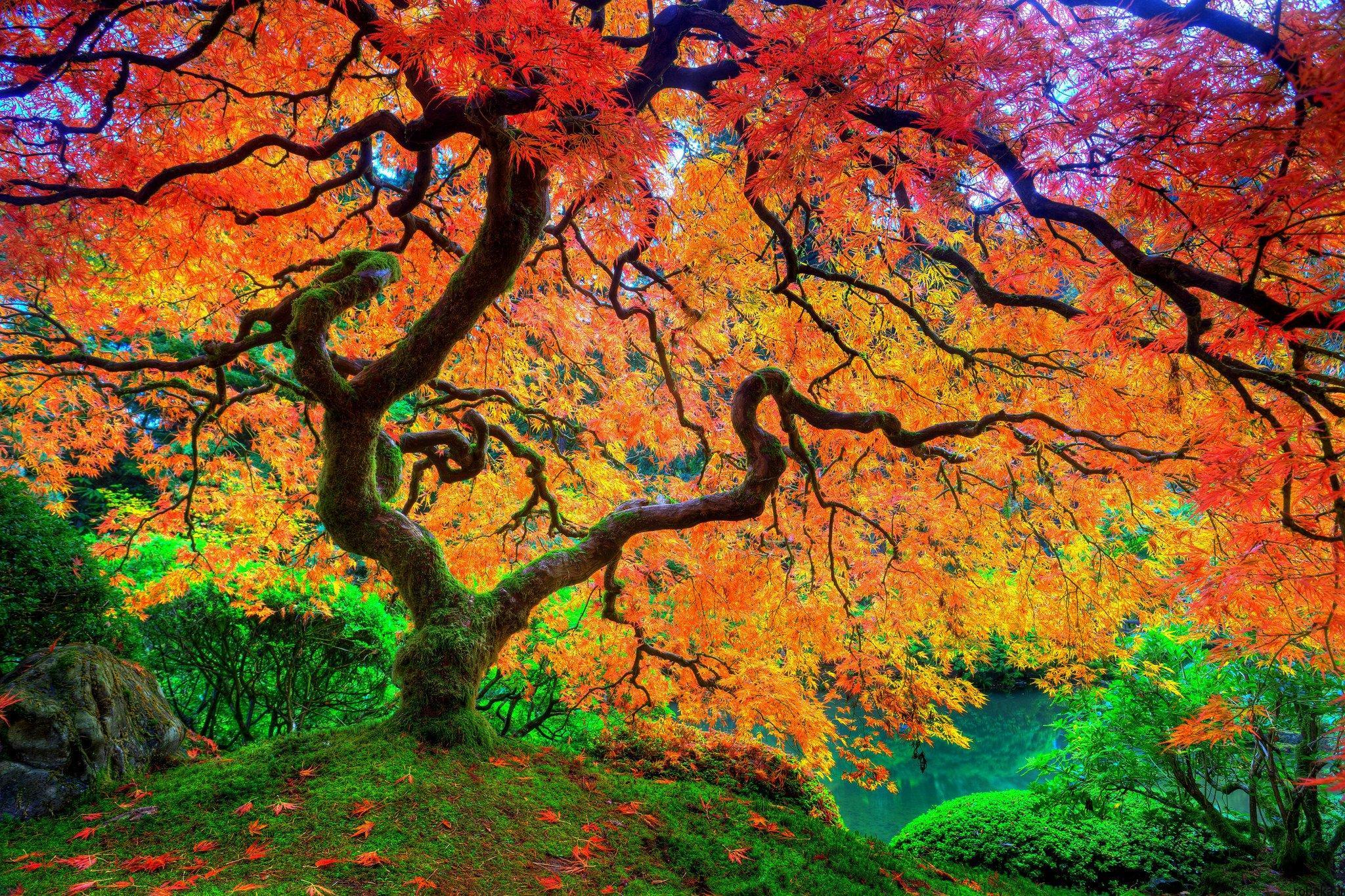عکس و والپیپر درخت افرا عکس های زیبا از برگ و درخت افرا قرمز و سیاه