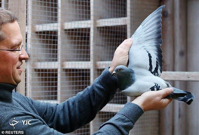 1608440939 robeka.ir کبوتر بلژیکی، گرانترین کبوتر جهان لقب گرفت + عکس