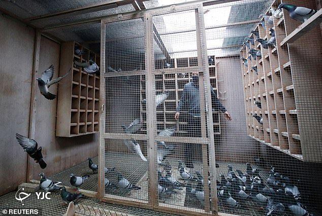 1608440942 robeka.ir کبوتر بلژیکی، گرانترین کبوتر جهان لقب گرفت + عکس