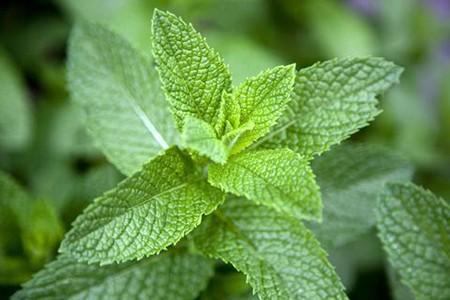 1609090937 robeka.ir درباره نعناع، گیاهی با خواص فراوان بیشتر بخوانید