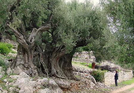 1609448882 robeka.ir عجیب ترین درختان دنیا + عکس