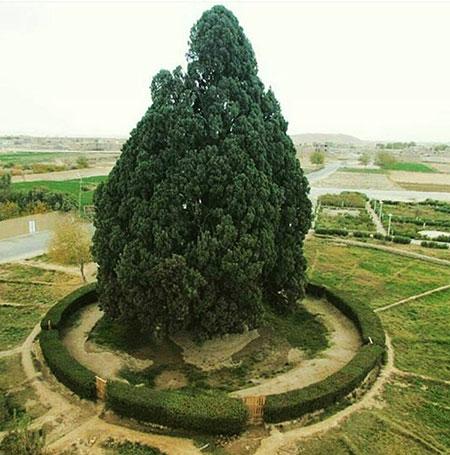 1609448890 robeka.ir عجیب ترین درختان دنیا + عکس