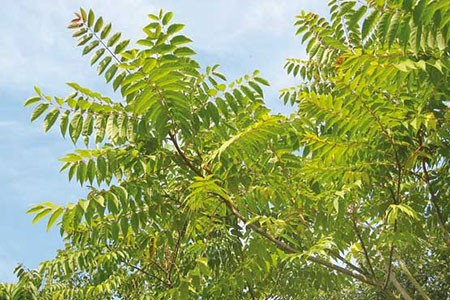 1609448903 robeka.ir عجیب ترین درختان دنیا + عکس