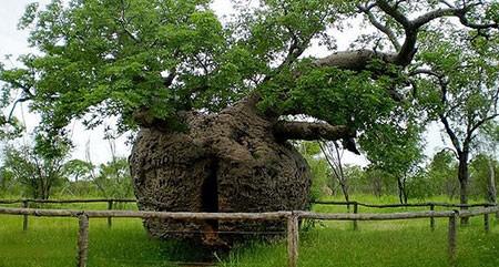 1609448907 robeka.ir عجیب ترین درختان دنیا + عکس