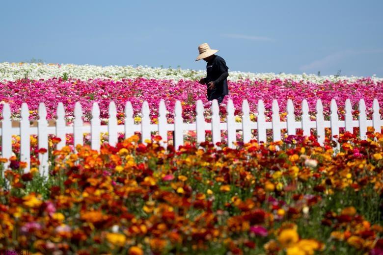 باغ گل کارلسبد 10 باغ گل کارلسبد در کالیفرنیا +تصاویر