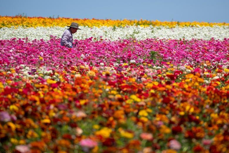 باغ گل کارلسبد 11 باغ گل کارلسبد در کالیفرنیا +تصاویر