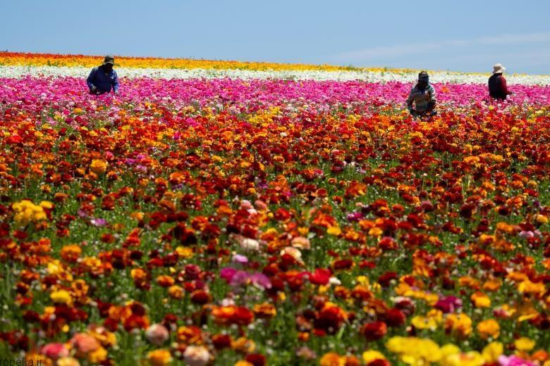 باغ گل کارلسبد 12 باغ گل کارلسبد در کالیفرنیا +تصاویر