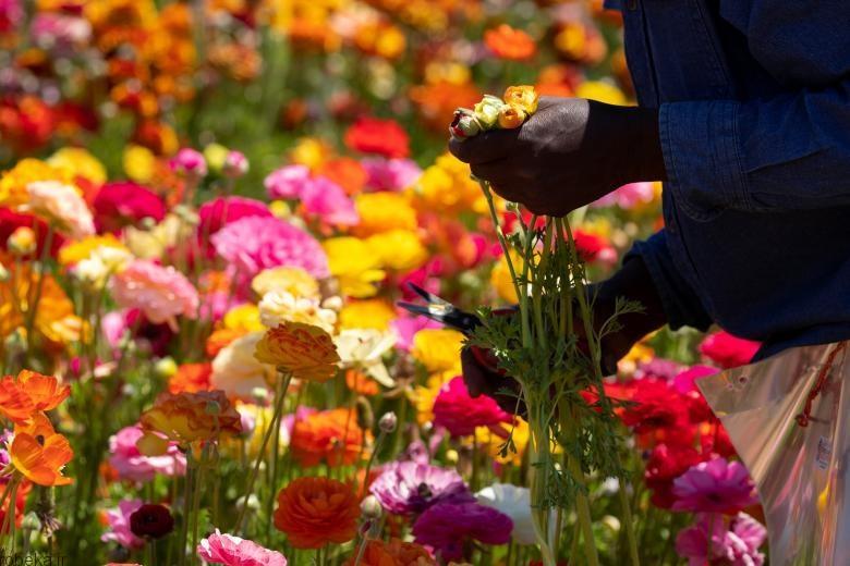 باغ گل کارلسبد 2 باغ گل کارلسبد در کالیفرنیا +تصاویر