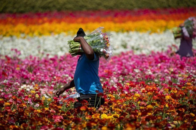 باغ گل کارلسبد 3 باغ گل کارلسبد در کالیفرنیا +تصاویر