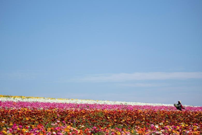 باغ گل کارلسبد 4 باغ گل کارلسبد در کالیفرنیا +تصاویر
