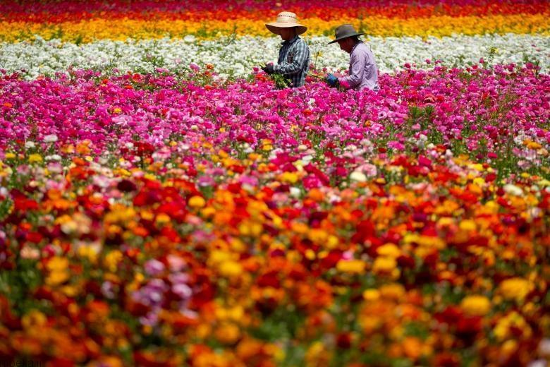 باغ گل کارلسبد 5 باغ گل کارلسبد در کالیفرنیا +تصاویر