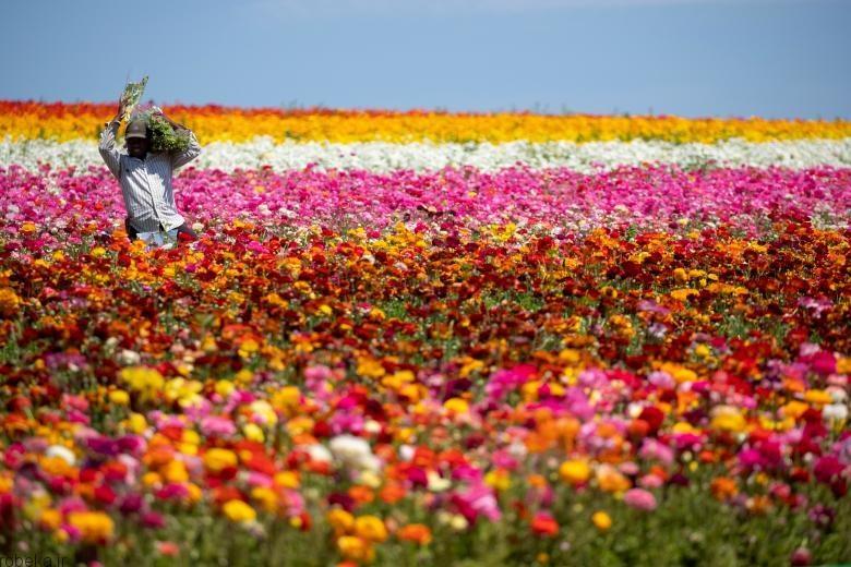 باغ گل کارلسبد 7 باغ گل کارلسبد در کالیفرنیا +تصاویر