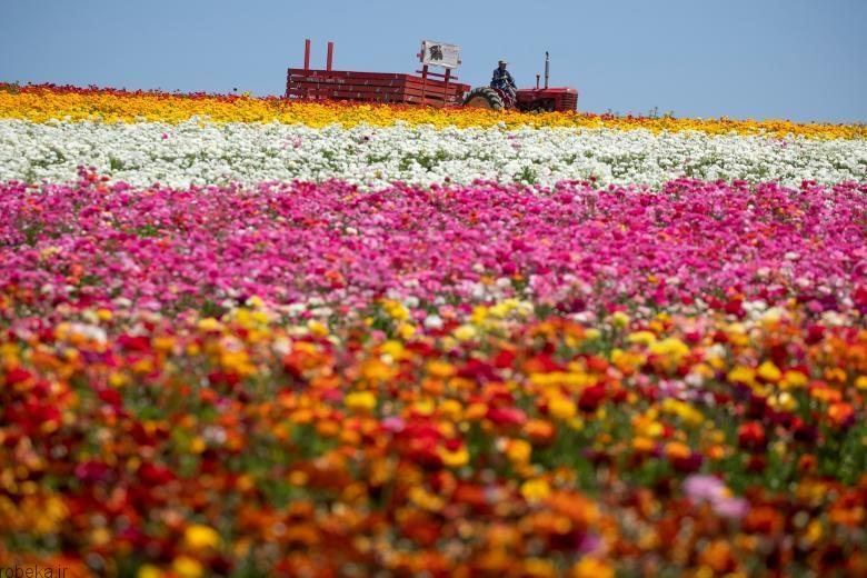 باغ گل کارلسبد 9 باغ گل کارلسبد در کالیفرنیا +تصاویر