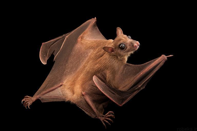 5b22a1d923e6d bat photos 1 16 عكس از خفاش هاي شگفت انگيز كه پيش از اين نديده ايد