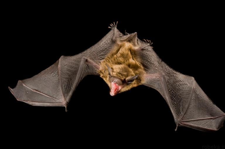 5b22a1dd88b96 bat photos 2 16 عکس از خفاش های شگفت انگیز که پیش از این ندیده اید