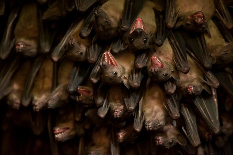 5b22a1e1eb7e5 bat photos 3 16 عکس از خفاش های شگفت انگیز که پیش از این ندیده اید