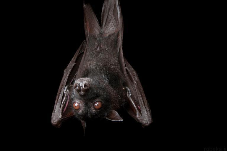 5b22a1e6b7a1b bat photos 4 16 عکس از خفاش های شگفت انگیز که پیش از این ندیده اید