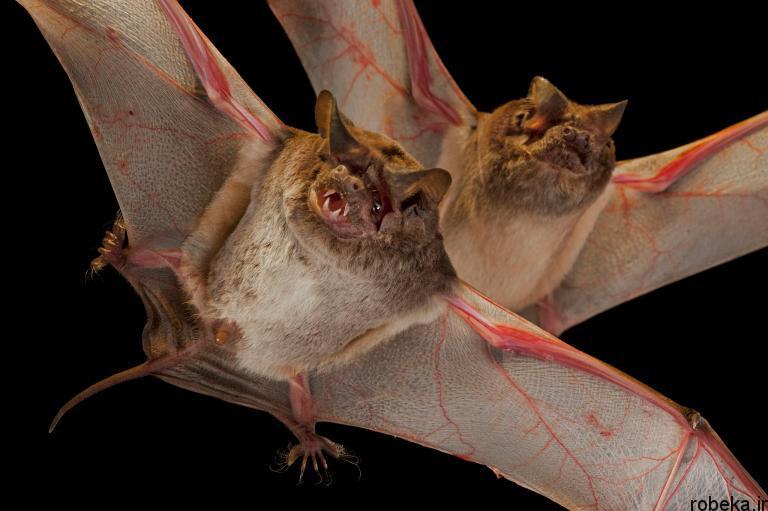 5b22a1eae8c3f bat photos 5 16 عکس از خفاش های شگفت انگیز که پیش از این ندیده اید