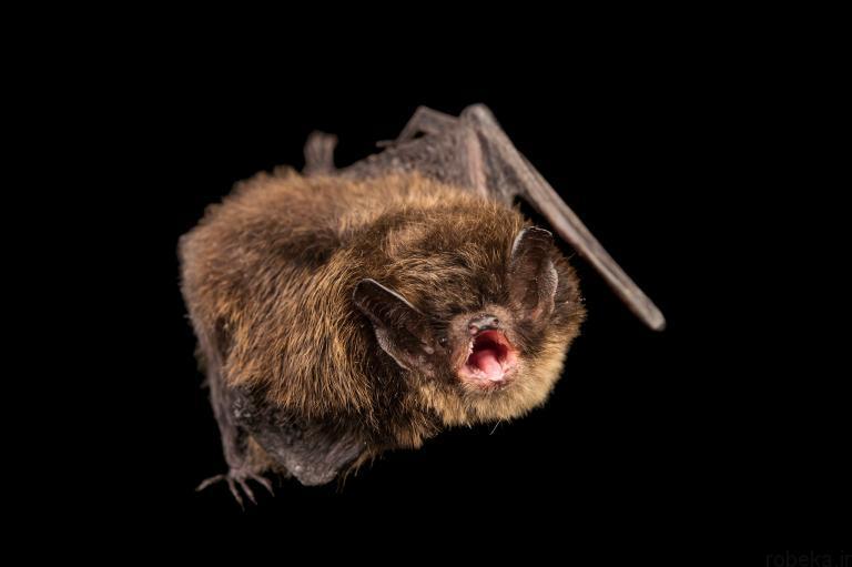 5b22a1efe4fee bat photos 6 16 عکس از خفاش های شگفت انگیز که پیش از این ندیده اید