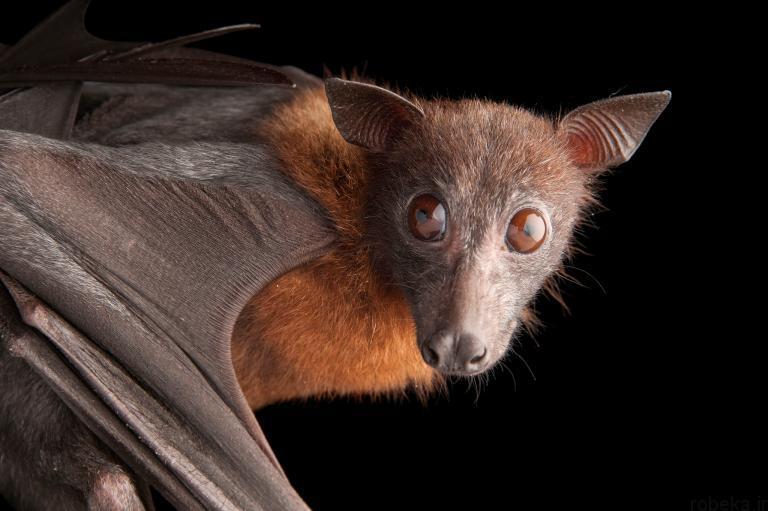 5b22a1f430389 bat photos 7 16 عکس از خفاش های شگفت انگیز که پیش از این ندیده اید