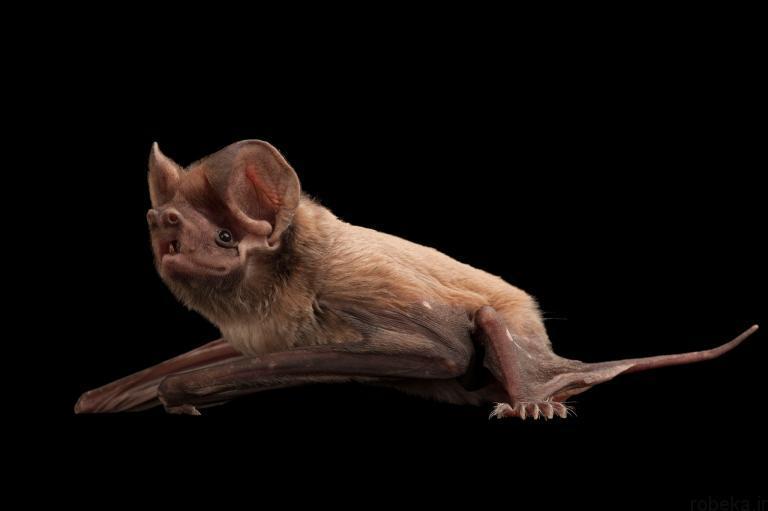 5b22a1f8ee75a bat photos 8 16 عکس از خفاش های شگفت انگیز که پیش از این ندیده اید