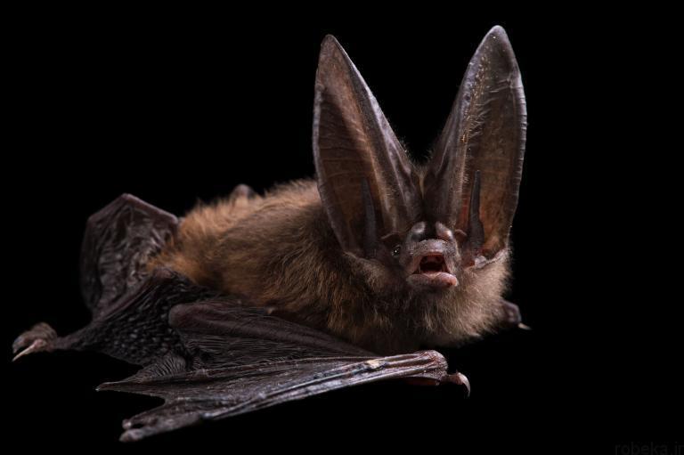 5b22a1fd39b35 bat photos 9 16 عکس از خفاش های شگفت انگیز که پیش از این ندیده اید