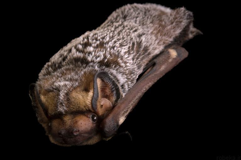 5b22a20175bc0 bat photos 10 16 عکس از خفاش های شگفت انگیز که پیش از این ندیده اید