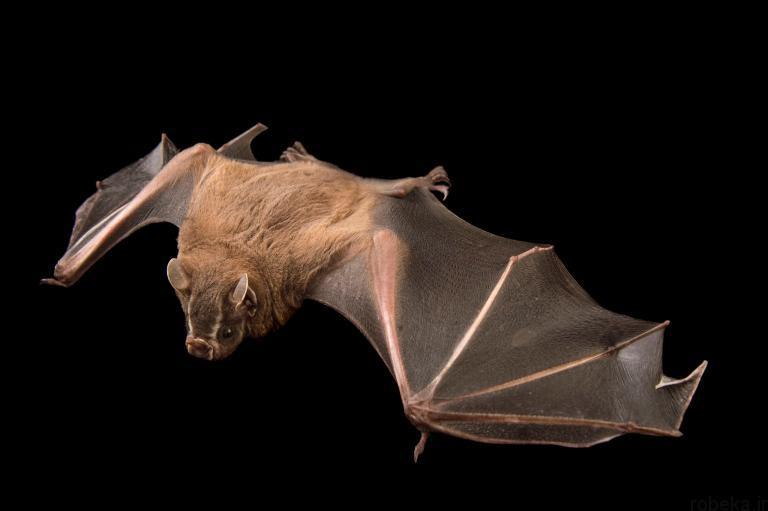 5b22a20612167 bat photos 11 16 عکس از خفاش های شگفت انگیز که پیش از این ندیده اید