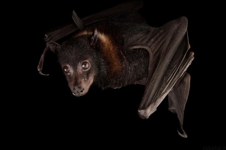5b22a20a4641a bat photos 12 16 عکس از خفاش های شگفت انگیز که پیش از این ندیده اید
