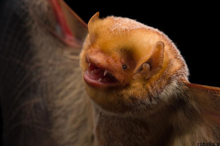 5b22a20e81e5b bat photos 13 16 عکس از خفاش های شگفت انگیز که پیش از این ندیده اید