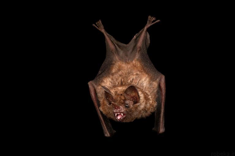 5b22a21b80b8a bat photos 16 16 عکس از خفاش های شگفت انگیز که پیش از این ندیده اید