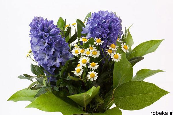 5b22a863e5252 hyacinth flower photos 14 عکس های گل های سنبل بنفش و آبی، سفید، صورتی و زرد