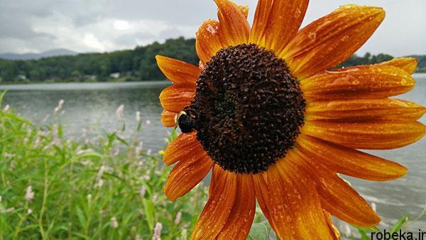 5b2502034cacd sunflower 21 عکس های گل های آفتابگردان رویایی در طبیعت
