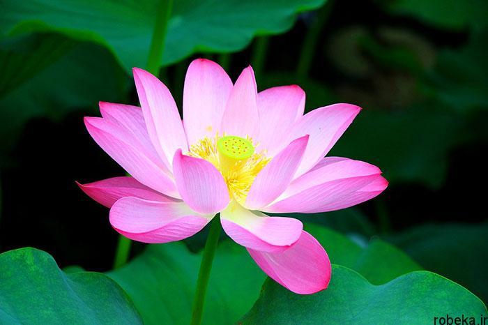 5b28311a0c890 lotus flowers photos 6 17 عکس زیبا از گل های نیلوفر آبی در مرداب ها