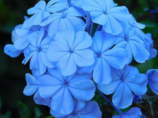 5b28363e2d006 purple blue jasmine flower photos 2 عکس های زیبا از گل های یاس برای پروفایل