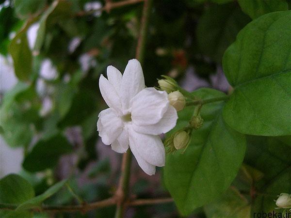 Jasmine sambac flower عکس های زیبا از گل های یاس برای پروفایل
