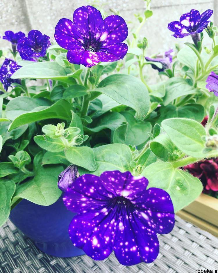 Petunia Galaxy Flowers photos 11 15 عکس خیره کننده از گل های اطلسی با گلبرگ های کهکشانی