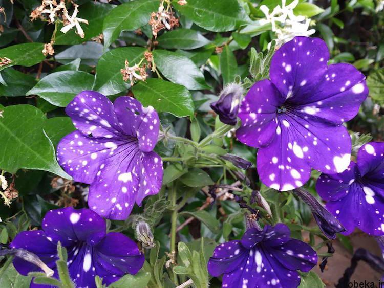 Petunia Galaxy Flowers photos 2 15 عکس خیره کننده از گل های اطلسی با گلبرگ های کهکشانی