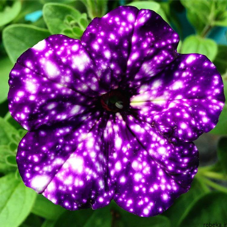 Petunia Galaxy Flowers photos 5 15 عکس خیره کننده از گل های اطلسی با گلبرگ های کهکشانی