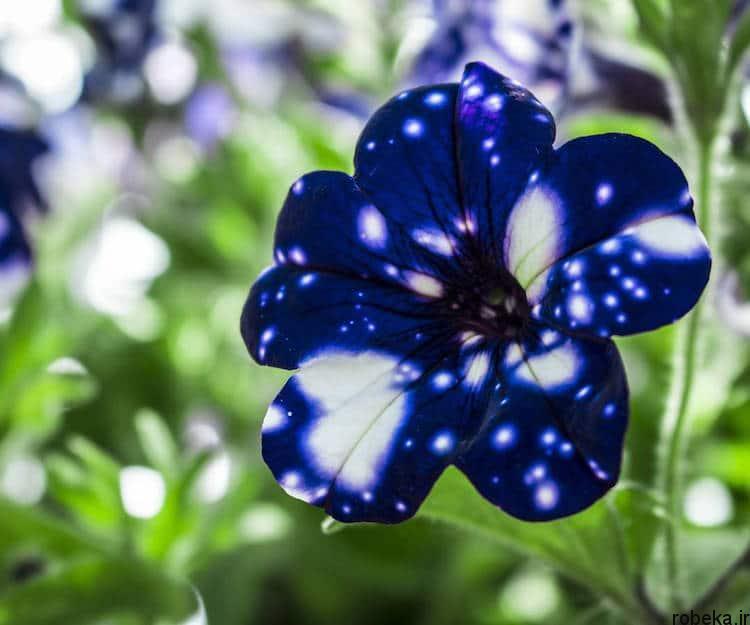 Petunia Galaxy Flowers photos 6 15 عکس خیره کننده از گل های اطلسی با گلبرگ های کهکشانی