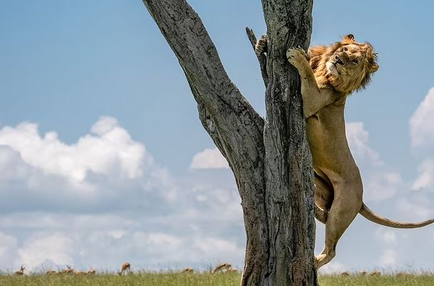 %name (تصاویر) شیر ترسو برای زنده ماندن به درخت چسبید!